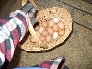 collected eggs on January 1, 2014